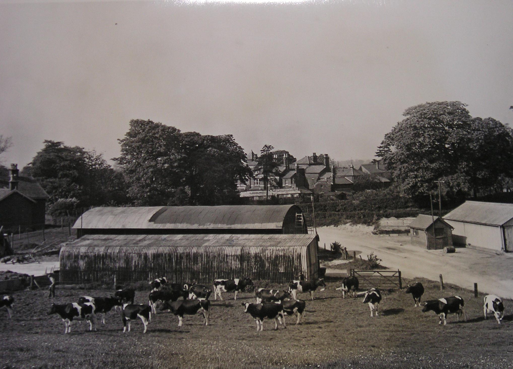 Sheards Cattle on the original farm land at Astbury Mere.