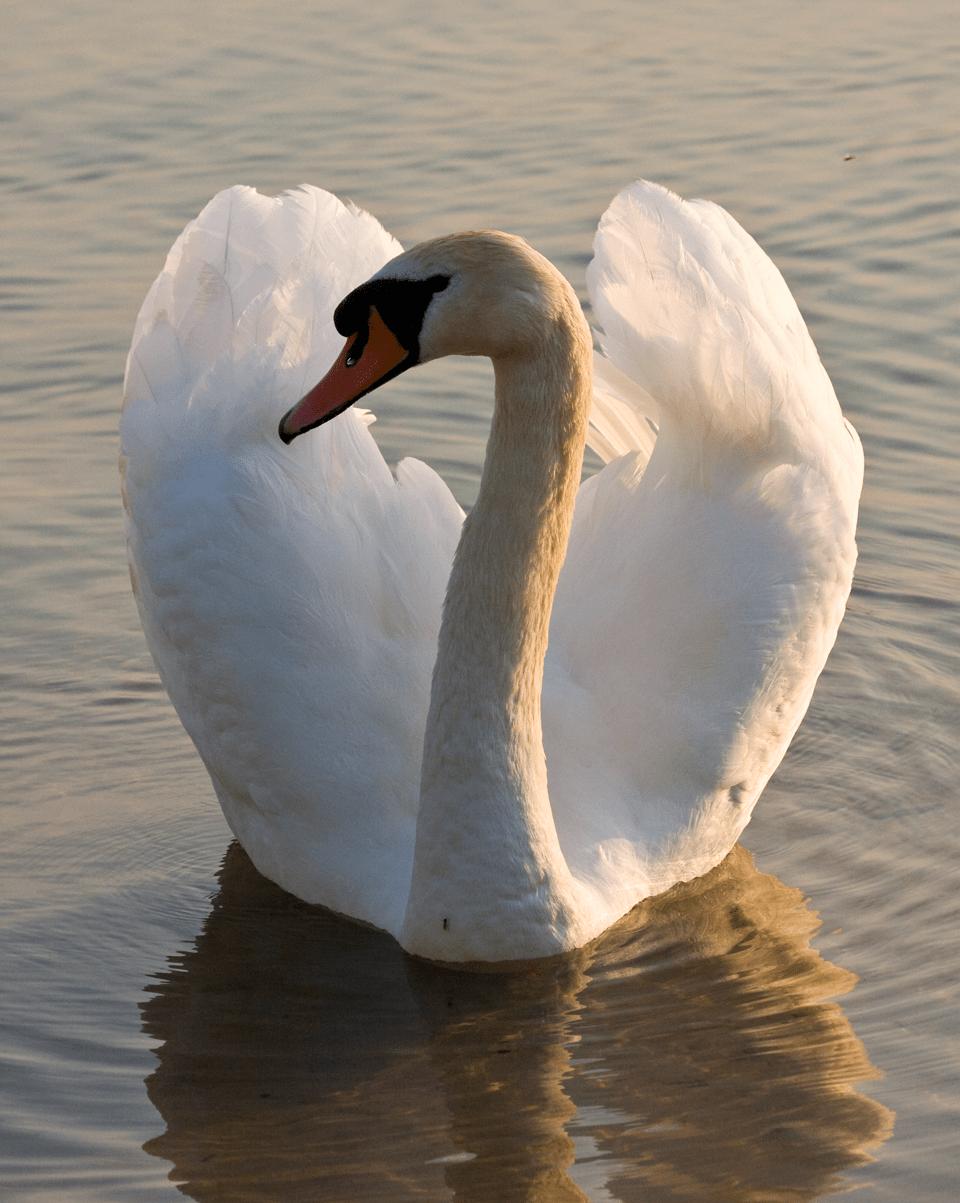 Swan on Astbury Mere