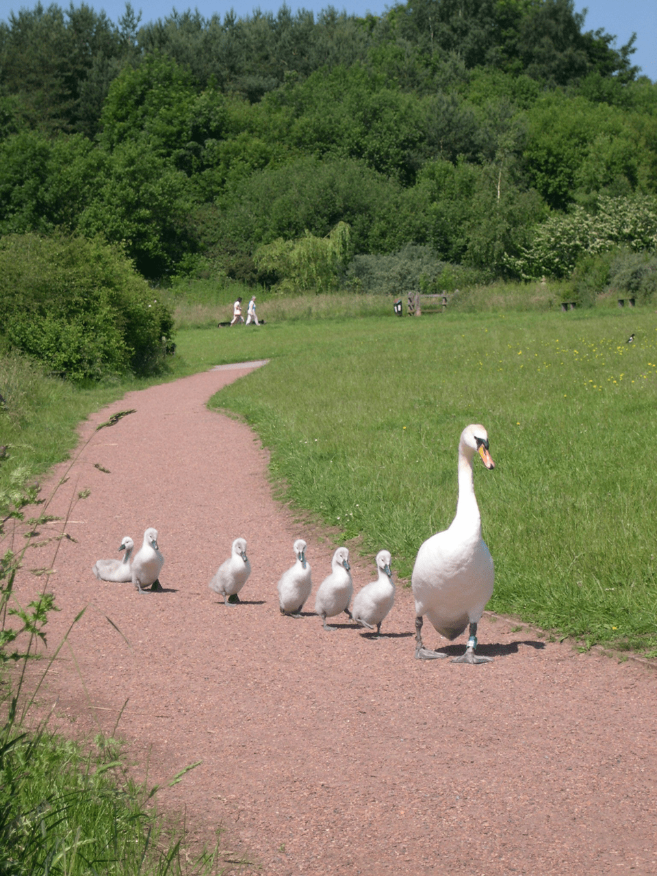 Swan walking on Astbury Mere Path