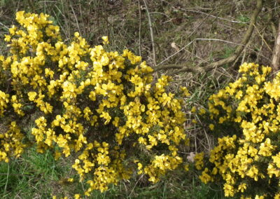 Astbury Mere Country Park Spring Gorse