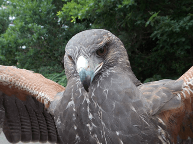 Harris Hawk Ranger